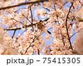 綺麗な桜の枝で休む鳥、イカル 75415305