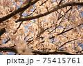 綺麗に咲いた桜の木の枝で休む鳥、イカル 75415761