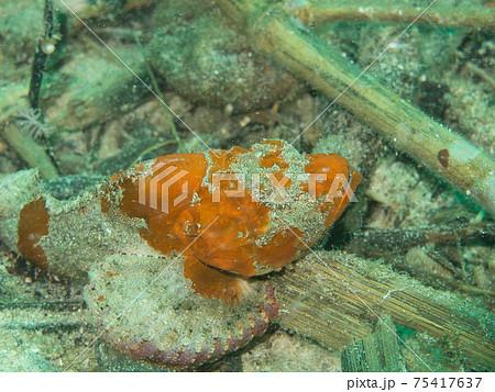 オレンジのオニダルマオコゼ(フィリピン、アニラオ) 75417637