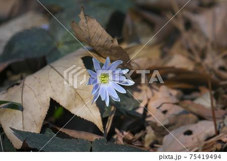ユキワリイチゲ(雪割一華) 枯れ葉の間から現れた春の妖精 75419494