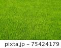 ベルベットのような緑が美しい初夏の田んぼ 75424179