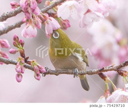 夢中になって寒桜の蜜を吸うメジロ 75429710