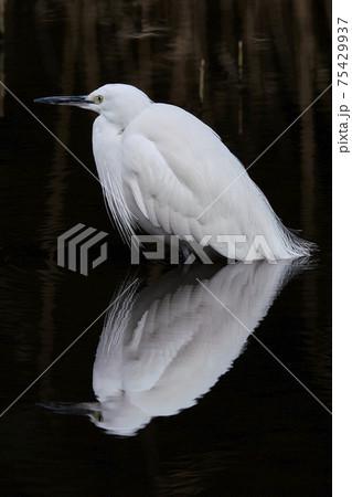 胸のレース状の羽がおしゃれ 水面に映るリフレクションがきれいなコサギ 75429937