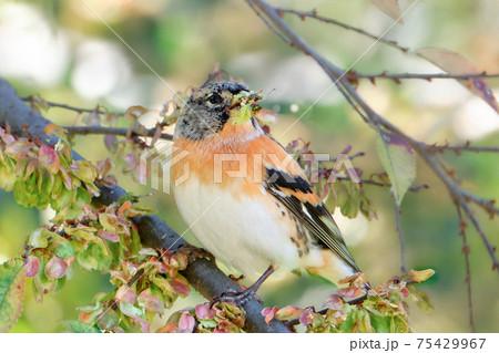 アキニレの実を食べに来て嘴を食べかすだらけにしている渡り鳥のアトリ 75429967