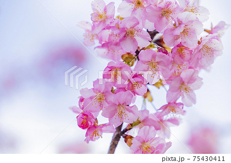 馬見丘陵公園  満開の河津桜 75430411