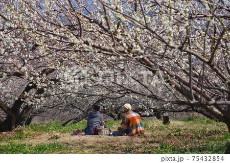 満開の梅の下でお弁当を食べるカップル 75432854