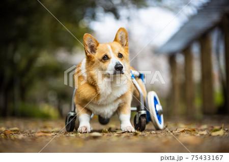 車椅子とコーギー 75433167
