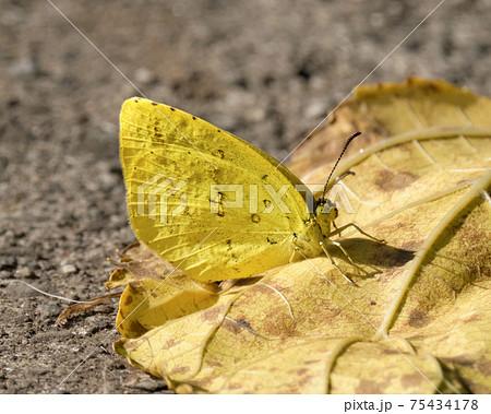 秋の日に枯れ葉にとまる黄色いキタキチョウ 75434178