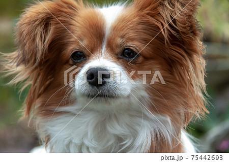 パピヨン犬の顔立ち【バタフライドッグ】 75442693