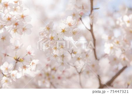 桜満開 背景素材 75447321