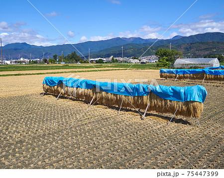 稲刈り後、稲木に掛けられ天日干し中の稲(ブルーシートが被せられている) 長野県松本市 75447399