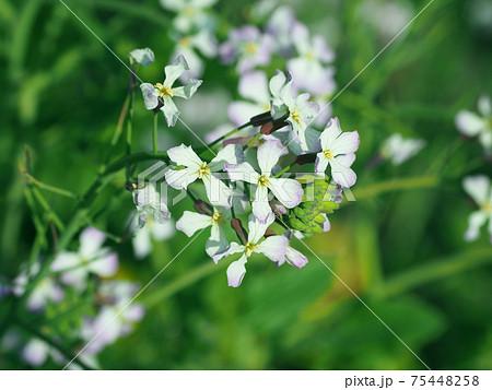 ダイコン(大根の花) 75448258