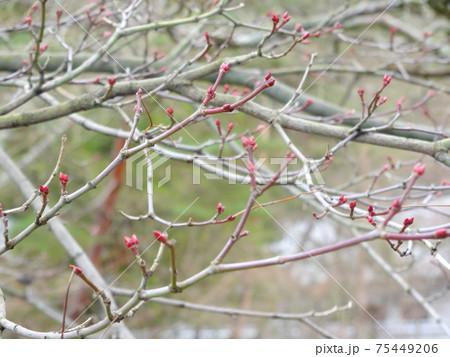 木の枝の先にあるピンクのつぼみのクローズアップ(京都) 75449206