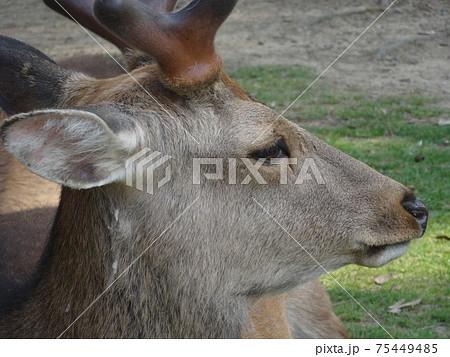 奈良公園でくつろぐ雄鹿の横顔のクローズアップ(奈良) 75449485