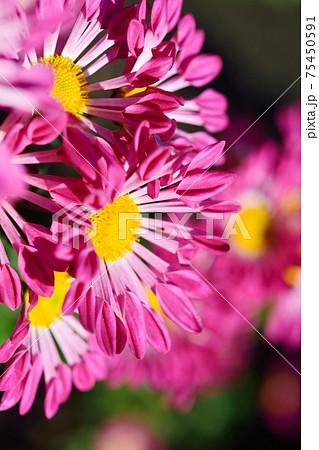 スプレー菊 75450591