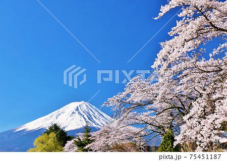 富士山と桜 75451187