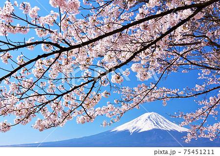 富士山と桜 75451211