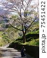 綺麗に咲く桜を写真撮影する 75451422