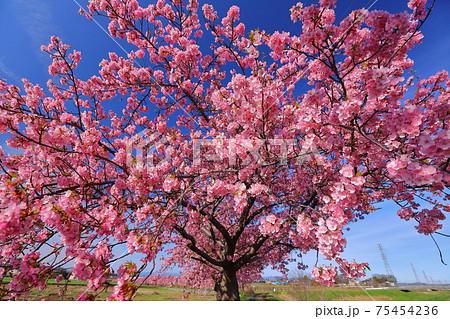 埼玉県坂戸市塚越 すみよし桜の里の河津桜並木 75454236