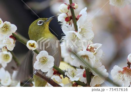 梅の枝に止まった美しいウグイス色のメジロ 75457616
