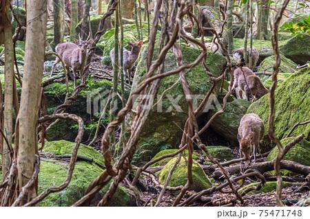 餌をさがすヤクシカの群れ。世界自然遺産屋久島の森 75471748