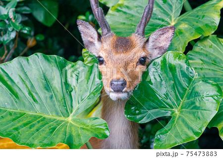 ひょっこり顔をだした雄のヤクシカ。世界自然遺産屋久島 75473883