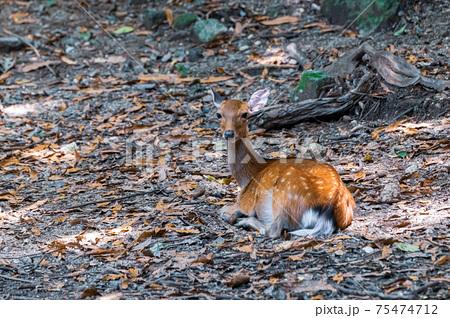 くつろぐ雌のヤクシカ、夏毛です。世界自然遺産屋久島 75474712