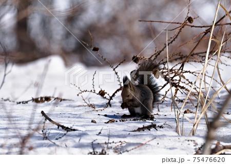 雪の上で松ぼっくりを齧るエゾリス 75476620