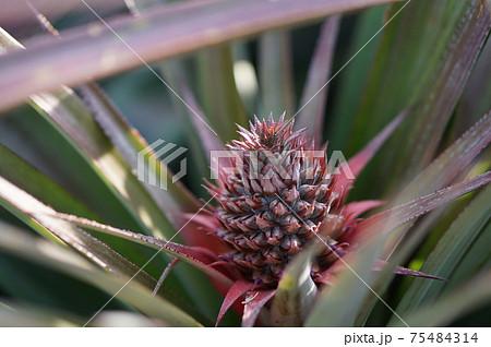 畑で育つ赤ちゃん台湾パイン 75484314