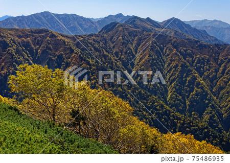鹿島槍ヶ岳稜線のダケカンバの黄葉と針ノ木岳への山並み 75486935