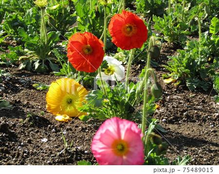 アイスランドポピーの赤と黄色の花 75489015