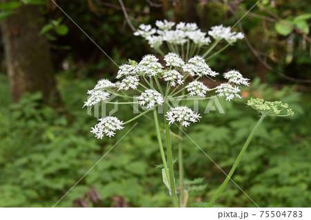 白い花を咲かせた植物を春に撮影した写真 75504783