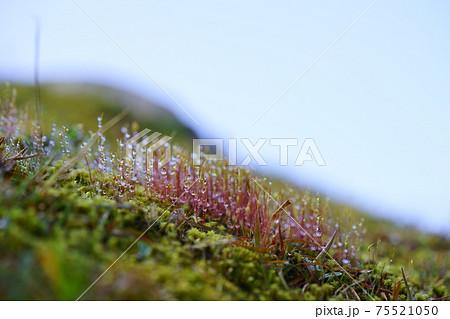 朝露の水滴・苔の胞子 75521050