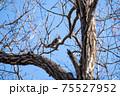 落葉した木枝に留まる冬のツグミ 75527952