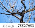 冬空の下で枝先に留まる鵯(ヒヨドリ) 75527953