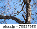 落葉した木枝に留まる冬のツグミ 75527955