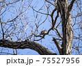 落葉した木枝に留まる冬のツグミ 75527956