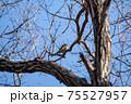 落葉した木枝に留まる冬のツグミ 75527957