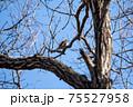 落葉した木枝に留まる冬のツグミ 75527958