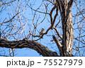 落葉した木枝に留まりながら毛繕いする冬のツグミ 75527979