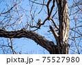 落葉した木枝に留まりながら毛繕いする冬のツグミ 75527980