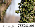枝先の葉が萎れ始めた冬の蔓植物 75528109
