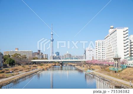 東京都 ふれあい橋から望むスカイツリーと桜並木 75536382