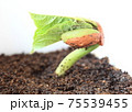 金時豆(いんげんまめ)の発芽 75539455