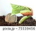 金時豆(いんげんまめ)の発芽 75539456