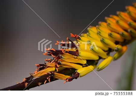 オニキリマルの花 75555388