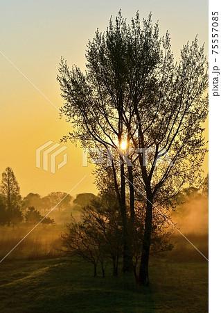 朝霧の渡良瀬遊水地の第1調整池内の木立とカントリークラブに朝日 75557085
