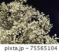 ライトアップされたモクレンの花 75565104