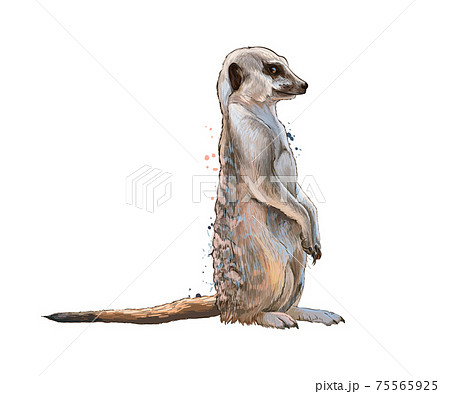 Meerkat from a splash of watercolor, colored drawing, realistic 75565925