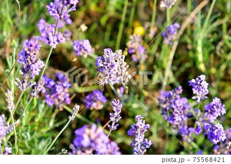 イギリスのラベンダー畑で満開のラベンダーに群がる蜜蜂 75568421